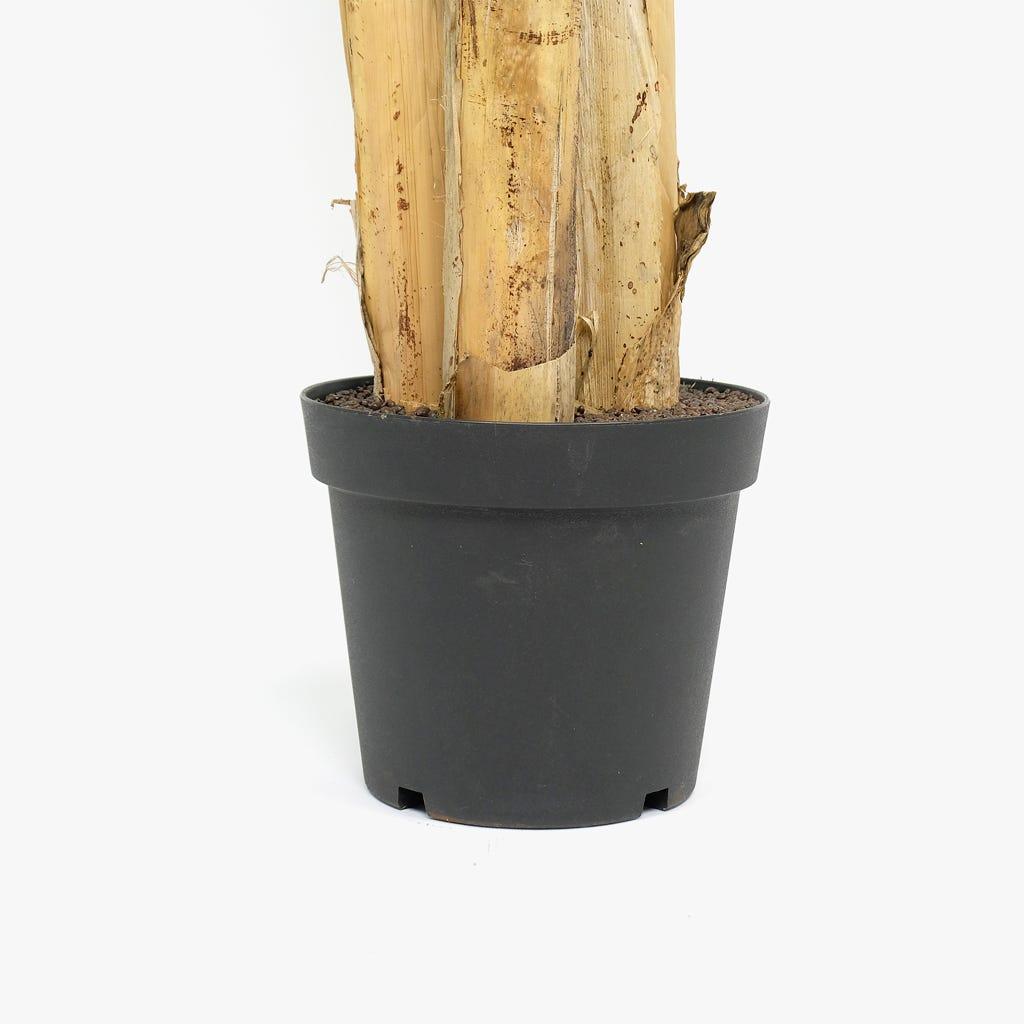 Bananeira 200cm
