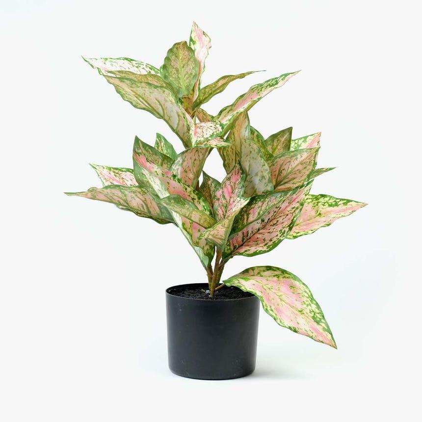 Dieffenbachia rosa 50 cm