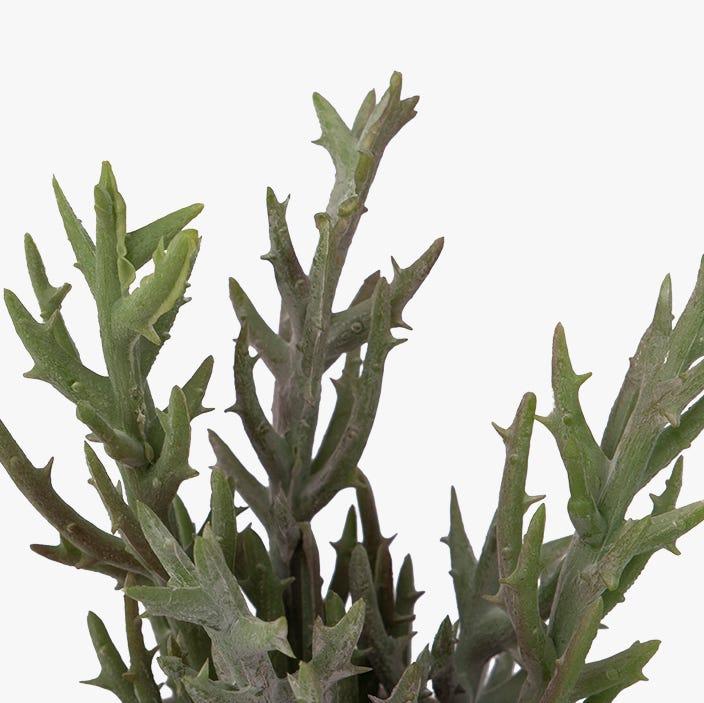 Maceta suculenta Tutuaca 16 cm